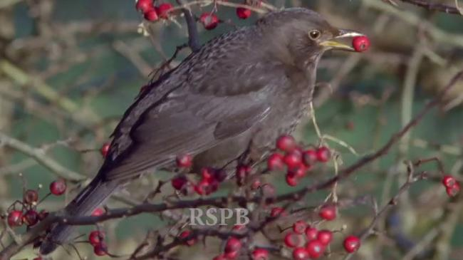 RSPB - Royal Society of Protection of Birds video thumb